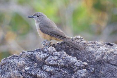 Sandstone Shrike-thrush (Colluricincla woodwardi) - Mitchell Plateau, WA