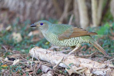 Satin Bowerbird - Female (Ptilonorhynchus violaceus minor) - Bunya Mountian National Park, QLD