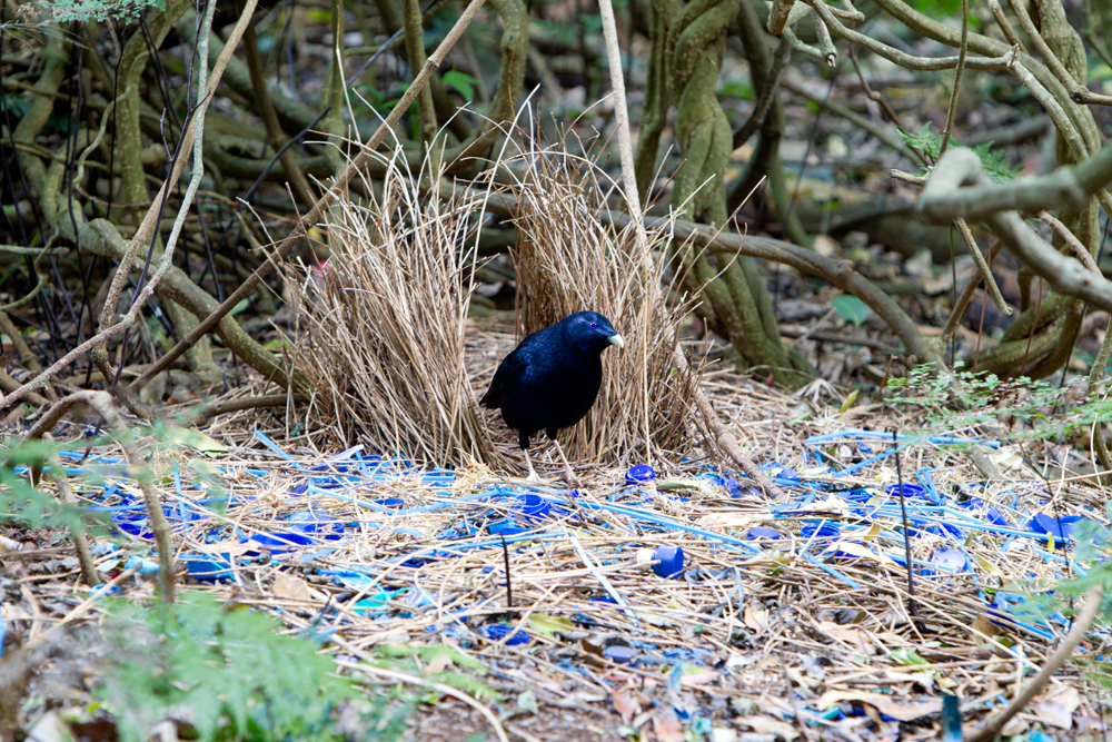 Satin Bowerbird - Male at Bower (Ptilonorhynchus violaceus minor) - Bunya Mountian National Park, QLD