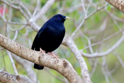 Satin Bowerbird - Male (Ptilonorhynchus violaceus minor) - Lammington National Park, QLD (2)