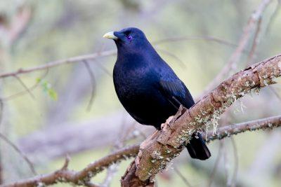 Satin Bowerbird - Male (Ptilonorhynchus violaceus minor) - Lammington National Park, QLD