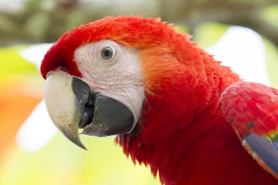 Scarlet Macaw (Profile)