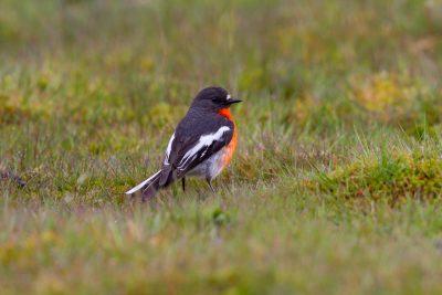 Scarlet Robin (Petroica multicolor leggii) - Tasmania