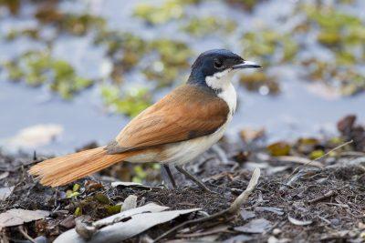 Shining Flycatcher - Female (Myiagra alecto melvillensis) -Fogg Dam, NT