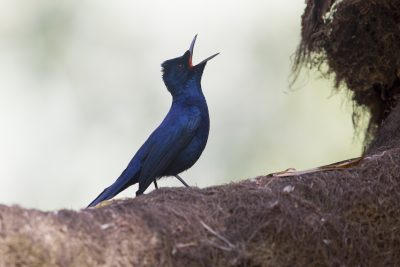 Shining Flycatcher - Male Calling (Myiagra alecto melvillensis) - Marrakai Track, NT