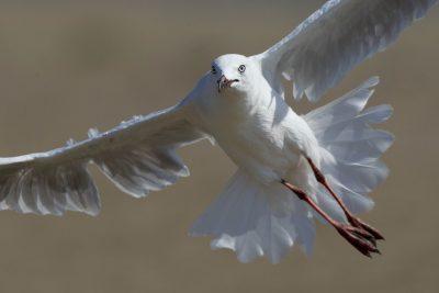 Silver Gull (Chroicocephalus novaehollandiae novaehollandiae) - Darwin, NT