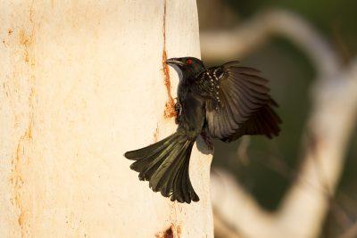 Spangled Drongo (Dicrurus bracteatus baileyi) - Nourlangie Rock, NT (3)