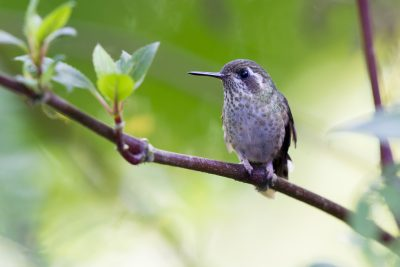 Speckled Hummingbird - Bellavista, Upper Tandayapa Valley, Ecuador