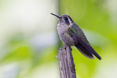 Speckled Hummingbird - Bellavista, Upper Tandayapa Valley, Ecuador.