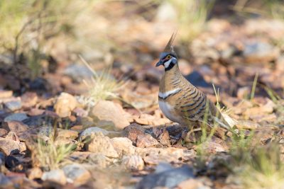 Spinifex Pigeon (Geophaps plumifera leucogaster) - Tennant Creek, NT