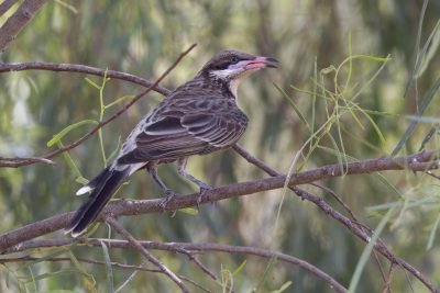 Spiny-cheeked Honeyeater (Acanthagenys rufogularis) - Alice Springs, NT