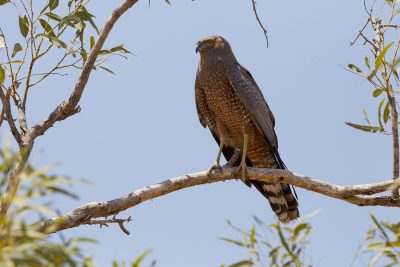 Spotted Harrier (Circus assimilis) - Gibb River Road, WA