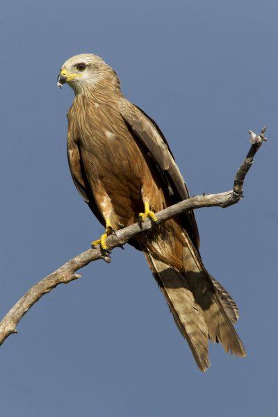 Square Tailed Kite (Lophoictinia isura) - Victoria River, NT
