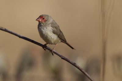 Star Finch (Neochmia ruficauda subclarescens) - Top Springs, NT (2)