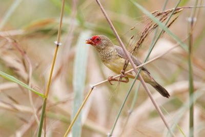 Star Finch (Neochmia ruficauda subclarescens) - Top Springs, NT (3)