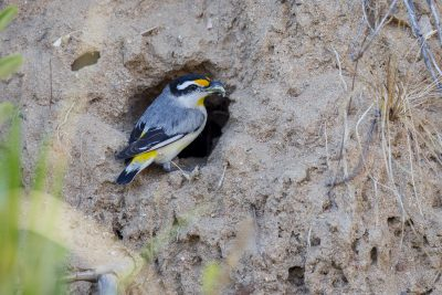Striated Pardalote - At Nest Hole (Pardalotus striatus uropygialis) - Katherine, NT