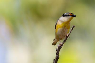 Striated Pardalote (Pardalotus striatus uropygialis) - Darwin, NT (2)