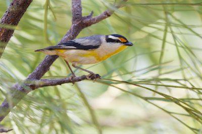 Striated Pardalote (Pardalotus striatus uropygialis) - Darwin, NT (3)
