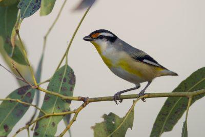 Striated Pardalote (Pardalotus striatus uropygialis) - Darwin, NT (4)