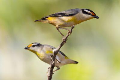 Striated Pardalote (Pardalotus striatus uropygialis) - Darwin, NT