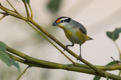 Striated Pardalote (Pardalotus striatus uropygialis) - Darwin, NT (5)