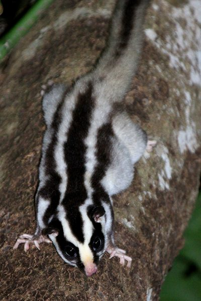 Striped Possum - Cairns Botanic Gardens, QLD