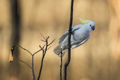 Sulphur-crested Cockatoo (Cacatua galerita fitzroyi) - Darwin, NT (2)