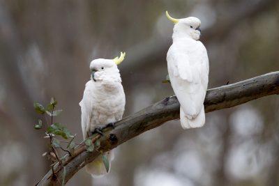 Sulphur-crested Cockatoo (Cacatua galerita galerita) - Grampians, VIC
