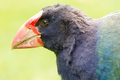 Takahe Profile - Zealandia, Wellington