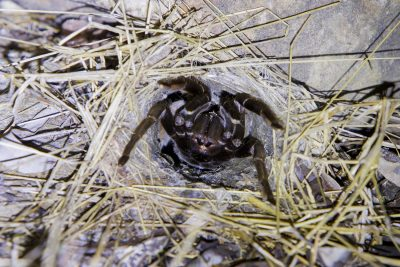 Australian Tarantula (Selenotypus) - Arnhemland
