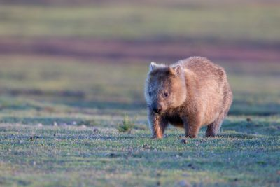 Tasmanian Wombat2