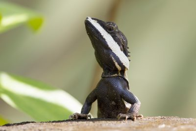 Tata Lizard (Male)