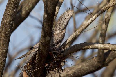 Tawny Frogmouth - On Nest (Podargus strigoides phalaenoides) - Darwin, NT