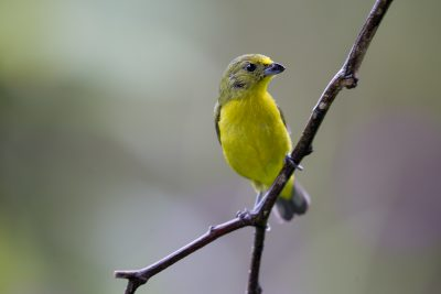 Thick-billed Euphonia (Female Panama)