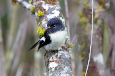Tomtit - Southland, NZ