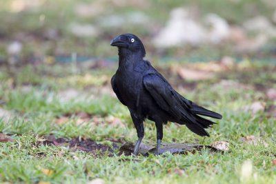 Choughs, Apostlebird, Crows & Ravens