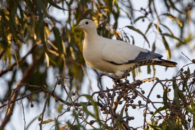 Torresian Imperial-Pigeon (Ducula spilorrhoa) - Darwin, NT