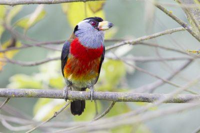 Toucan Barbet - Paz De Aves (Ant Hill Pass), Ecuador