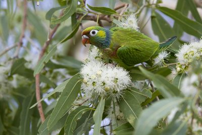 Varied Lorikeet (Psitteuteles versicolor) - Victoria River, NT (2)