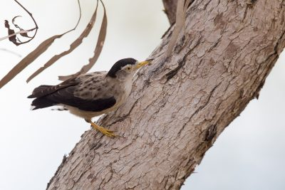 Varied Sittella (Daphoenositta chrysoptera leucoptera) - Bird Billabong, NT (2)