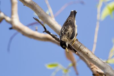 Varied Sittella (Daphoenositta chrysoptera leucoptera) - Bird Billabong, NT (3)