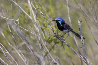 Variegated Fairy-wren (Male, Malurus lamberti dulcis) - Arnhemland, NT (2)