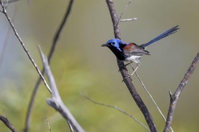 Variegated Fairy-wren (Male, Malurus lamberti dulcis) - Arnhemland, NT