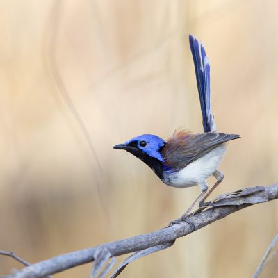 Purple-backed Fairy-wren (Male, Malurus lamberti rogersi) - Mitchell Plateau, WA
