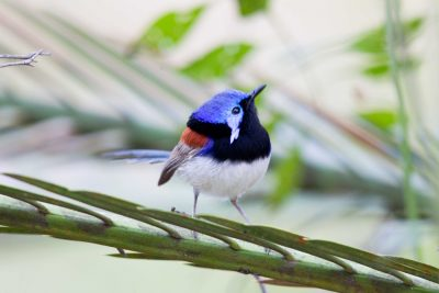 Variegated Fairy-wren (Malurus lamberti lamberti) - Lammington National Park, QLD