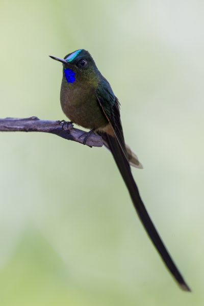 Violet-tailed Sylph (Male) - Bellavista, Upper Tandayapa Valley, Ecuador