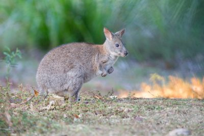 Wallaby3