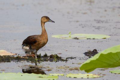 Wandering Whistling Duck (Dendrocygna arcuata australis) - Fogg Dam, NT