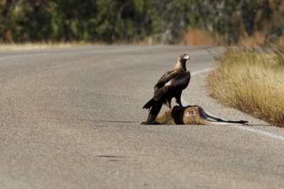 Wedge Tailed Eagle (Aquila audax audax) - Victoria Highway, NT