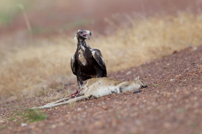 Wedge-tailed Eagle - Eating Agile Wallaby (Aquila audax audax) - Katherine, NT (2)